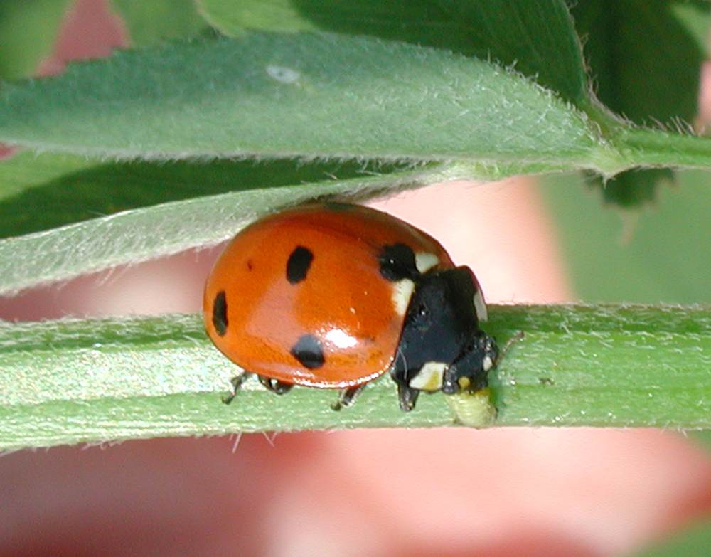 food-and-farming-organic-agriculture-ladybug-feeding-alfalfa