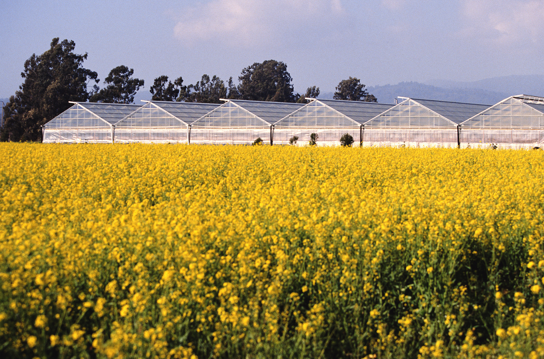 food-and-farming-who-grows-our-food-canola-field